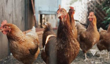 Cara Ternak Ayam Petelur